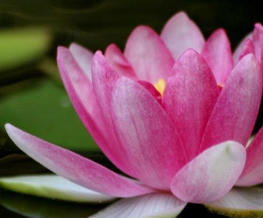 lotus-flower-kcdi-1200x480